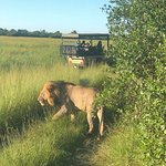 Lion encounter on a morning game drive. Letaka Safaris