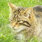 Scottish Wildcat. Assured that its cuddly looks are deceptive!