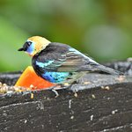 Golden-hooded Tanagers come to the fruit feeders