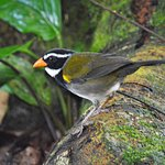 Orange-billed Sparrows are found along the forest trail