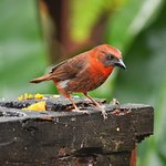 Red-throated Ant-tanagers come to the fruit feeders