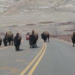 North Dakota Traffic Jam - Bison at Theodore Roosevelt National Park