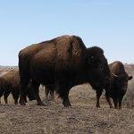 Bison at Theodore Roosevelt National Park