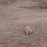 Prairie Dog Town at Theodore Roosevelt National Park