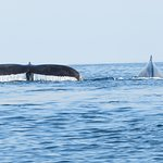 Two humpback whales travel side by side!