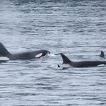 Island Adventures made my dream of seeing Orca Whales in the wild come true!