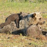 Also bear cubs are regular visitors in Martinselkonen Wilds Centre bear hides.