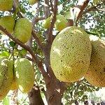 Jack fruits -Kerala