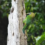 Northern Emerald Toucanet seen on our tour
