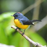 Slate-throated Redstarts followed us all over the reserve!
