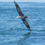 Black-Footed Albatross with a 7-foot wingspan!