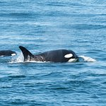 Adult and young Orca