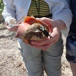 The conch shell's inhabitant came out to greet us. (Photo taken by guide)