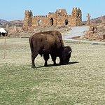 Bull buffalo wander inside the Holy City presentation area.  QUESTION:  Where does a bull eat gr