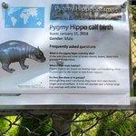Baby Pygmy hippo born in Jan.