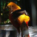 Chinese pheasant