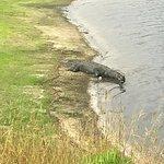 Alligator by river