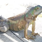One of the many iguanas
