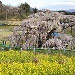 صورة فوتوغرافية لـ Miharutakizakura