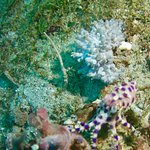 Asia divers/blue ring octopus