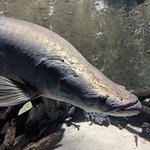 Arapaima (Amazon River)