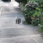 African (Jackass) Penguins that visit us frequently. In fact they sometimes even nest in the shr