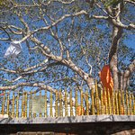 Sri Maha Bo Tree