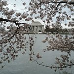 Jefferson Memorial, at cherry blossom time