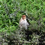 ภาพถ่ายของ Brunei Proboscis Monkey River Safari