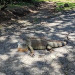One of the resident iguanas at Eco Arenal