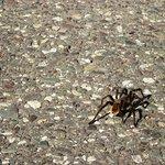 Una araña tan grande que se vio cruzando la ruta, desde el auto en movimiento, paramos por la fo