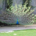 Peacocks everywhere!