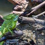 Male Basilisk (Jesus Christ) Lizard