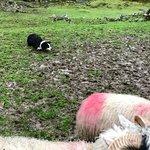 Fantastic Sheep Dog Demo!