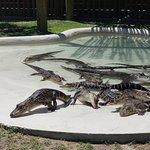 The baby gators