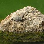 A sunbathing turtle.