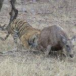 Tiger trying to grab sambhar deer !