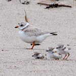 A piping plover mom and her chicks