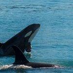Orca whale spy hopping.