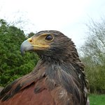 Harris Hawk sitting on my fist