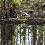 Juvenile Alligators
