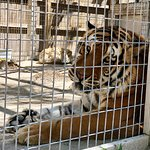 Slammer...a male tiger who was rescued from a Motel 6 room