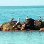 Pelicans-- their beaks can hold more than their belly cans!
