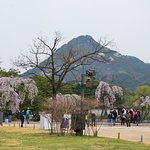Weeping cherry blossoms in Gyeongbokgung Palace