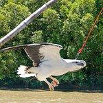 Sea Eagle stealing the crocs food