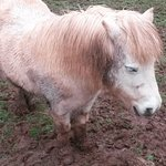 The ponies had no dry area to sleep in - just a shelter with mud and wet hay and seemed poorly k
