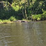 Big gator on shore!