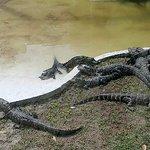 Gators on loan from Gatorland