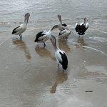 Resident pelicans on the Esplanade