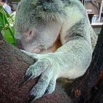 Champagne Bush Tucker Breakfast with the Koalas照片